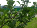 Изобилие плодов... Забайкальский абрикос